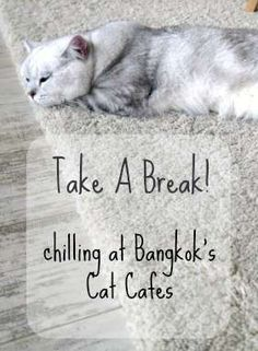 Bangkok's Cat Cafes, where to find cats and coffee in Bangkok Thailand. Thailand Travel with Renegade Travels.