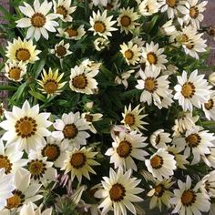 Gazania Seeds New Day White Gazania Linearis 15 thru 200 Seeds Treasure Flower Seeds