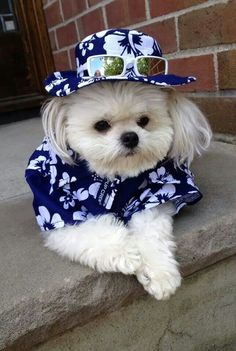 Getting ready for the beach #summer #dogs dressing up #cute #adorable