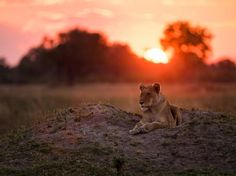 An African lioness rests in the rosy light of the setting sun in Botswana's…