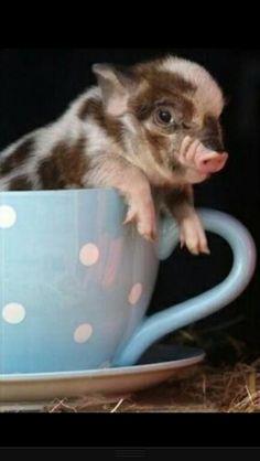 Pig in a teacup