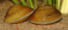 Corbicula javanicus Gule kuleskjell