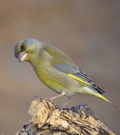 Hawfinch, Song Thrush, Greenfinch, Bullfinch, Wild Birds, Beautiful Birds, Wildlife, Creatures, Pets