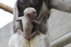 Naissance d'un gibbon à bonnet au zoo de Zurich