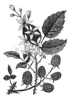 botanical perennial: Blackberry or Rubus villosus or Bramble, vintage engraving. Old engraved illustration of Blackberry isolated on a white background. Illustration