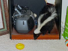 """""""Take it from me, skunks and dogs do NOT get along."""" snap by chrispea"""