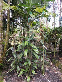 Dypsis coriaceae Marcus garden Hawaii