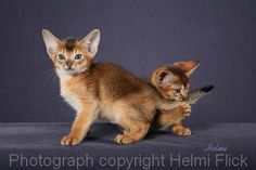 Two Ruddy Abyssinian Kittens | PoC