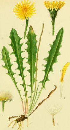 "https://flic.kr/p/wZN1BJ | Image from page 248 of ""Billeder af nordens flora"" (1917) | Title: Billeder af nordens flora Identifier: billederafnorden04ment Year: 1917 (1910s) Authors: Mentz, August, 1867-1944; Ostenfeld, C. H. (Carl Hansen), 1873-1931 Subjects: Plants; Plants; Plants Publisher: København, G. E. C. Gad's forlag Contributing Library: New York Botanical Garden, LuEsther T. Mertz Library Digitizing Sponsor: The LuEsther T Mertz Library, the New York Botanical Garden   View Book…"