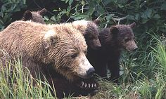 Brown Bear Mother and cubs. Cubs traditiona;;y stay with their mother for 2 !/2 years