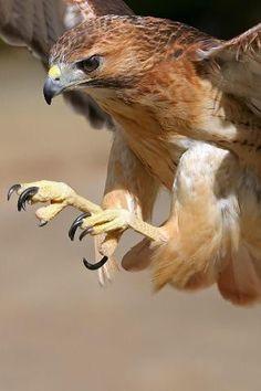 Hawk in flight !