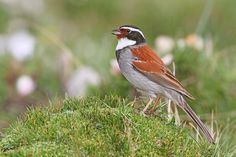 The Tibetan Bunting (Emberiza koslowi) is a species of bird in the Emberizidae family. It is endemic to eastern side of Tibetan Plateau.