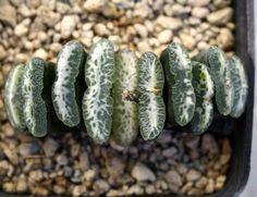 Succulent Plant Information: Haworthia truncata cv