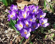 I love seeing the color of crocus early in the spring.