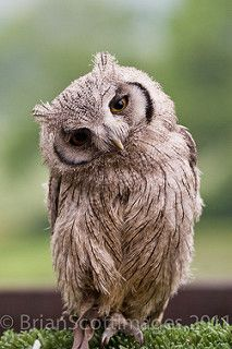 Baby Scops Owl | by BrianScottImages