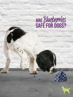 If you've ever wondered if your dog can eat blueberries …