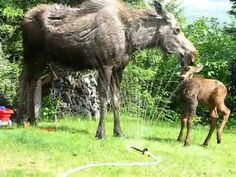 Cute Baby Moose Plays In Water Fountain