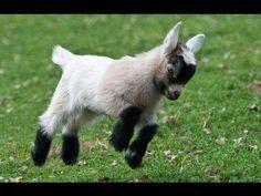 ¡Con las imágenes de estos bebés cabra no puedo parar de reír!