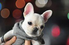 White french bulldog puppy.