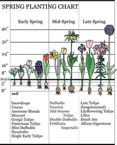 Time - Landscaping With Early Spring Bulbs - Spring Planting Chart -Bloom Time - Landscaping With Early Spring Bulbs - Spring Planting Chart - Spring Flowering Bulbs, Spring Plants, Spring Garden, Planting Bulbs In Spring, Summer Bulbs, When To Plant Bulbs, Early Spring Flowers, Spring Blooming Flowers, Tulips In Spring