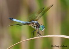-Blue Dasher Dragonfly - Point Pelee National Park -