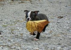 ♥Boston terrier
