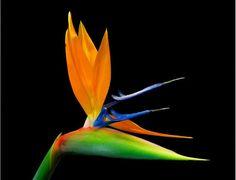 Birds of Paradise  #bodycology