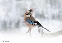 Jay in Winter  Animals photo by dgwildlife http://rarme.com/?F9gZi