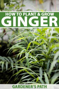 tropical garden Growing ginger is not as hard as you may think. Although its a tropical plant, it can be raised and harvested almost anywhere at any time with the right techniques. Grow this tasty culinary herb with the help of Gardeners Path now! Growing Ginger, Growing Herbs, Growing Vegetables, How To Grow Herbs, Growing Greens, Gardening For Beginners, Gardening Tips, Flower Gardening, Garden Wallpaper