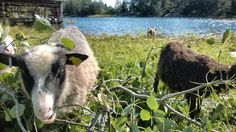 Lambs eating leaves. Archipelago. Finland.