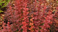 'Orange Rocket' Barberry