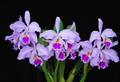 Orchid: Cattleya warscewiczii - Flickr - Photo Sharing!