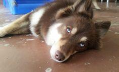 Doggy Daycare Vibes  : @disfordoggy #nyc #dogsofnyc #nycdogs #RipCity #latergram #pomsky #pomskie #husky #Pomeranian #minihusky #miniwolf #direwolf #wolf #topdogphoto #DoYouSlobbr #dogsofinstagram #cutepetclub #lacyandpaws #blueeyes #nature_cuties #animaladdicts by let_er_rip_