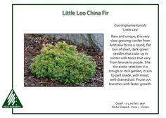Cunninghamia-konishi-LittleLeo