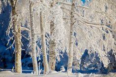 Snowy BirchesLapinlahti  photo by Olli Toivonen