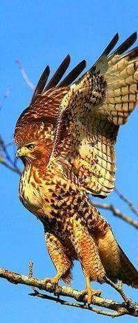 Pin Af Cetanwakuwa Pa Hawk Paint Art Rovfugle Ugler Dyr