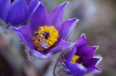 Jenny Rainbow Fine Art Photography Photograph - Spring Visitor by Jenny Rainbow #JennyRainbowFineArtPhotography #Pulstilla #SpringFlowers #FramedPrints