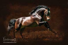 Andalusier/PRE - Pferdefotografie, Hundefotografie, Fotografie Bettina Niedermayr Pferde - Mensch & Pferd - Hunde- Portrait - Stallschilder - Kalender, Pferdekalender, Haflingerkalender mit Kohlfuchs Liz. Steiermark