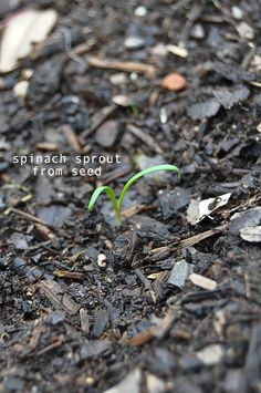 how to grow spinach. easy new way to garden.  blog with how to start your garden and lots of pics.