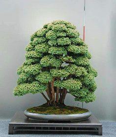 Bonsai via Bonsai Empire