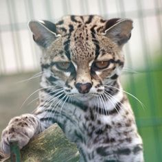 Margay cat is not amused