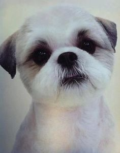 Round little Shih Tzu