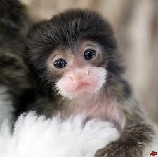 "Sweet baby marmoset.  The reason I call my dog Ivy ""Monki"".  She looked just like this as a puppy."