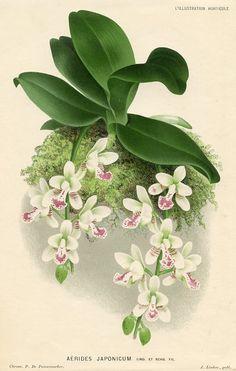 Japanese Aerides (Orchid) (Aerides japonicum)  L'Illustration Horticole (Belgium , 1882)