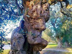 Abrazo, omarming, olijfboom Jaen
