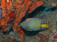 Queen Angelfish, St. John, USVI