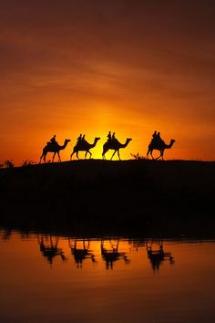 sunset - Camels at Desert, Pushkar, India