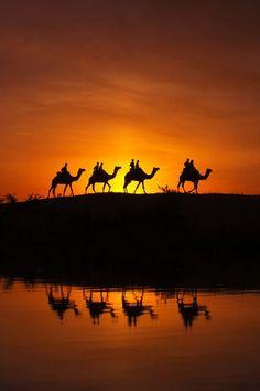 sunset - Camels at Desert, Pushkar, India