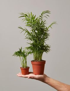Basic plant care information for the Parlor Palm (Chamaedora elegans) plant. Ceramic Planters, Planter Pots, Succulent Planters, Hanging Planters, Organic Gardening, Gardening Tips, Indoor Gardening, Container Gardening, Indoor Plants