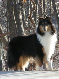 Handsome Lad - tri-color Collie